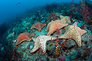Cushion star fish, Oreaster reticulatus, crawl over a coral reef in Palm Beach, Florida. Image available as a premium quality aluminum print ready to hang.