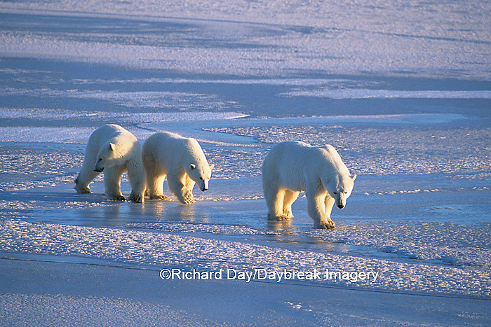 01874-01320 Polar Bears (Ursus maritimus) female with 2 cubs walking on frozen pond  Churchill  MB