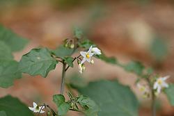 Zwarte nachtscahde, Solanum nigrum subsp. nigrum