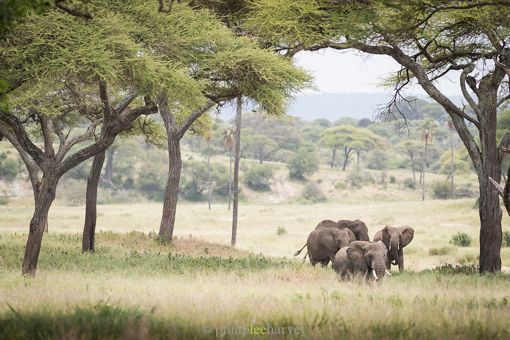 Group of African elephants (Loxodonta africana) in the savannah in Tarangire National Park, Tanzania