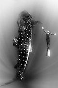 Mexico, Quintana Roo, Isla Mujeres. A free diver champion swimming alongside a whale shark among sunrays.