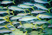 yellow goatfish, Mulloidichthys martinicus<br /> with French grunts ( Haemulon flavolineatum ) below<br /> Bahamas ( Western Atlantic Ocean )