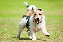 Two black, white and tan Jack Russell terrier dogs playing in a park <br /> 9 Aug 2010 .Images © Paul David Drabble..