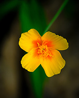 California Poppy Flower. Image taken with a Fuji X-H1 camera and 80 mm f/2.8 macro lens