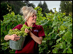 September 6, 2017 - London, London, United Kingdom - Image ©Licensed to i-Images Picture Agency. 06/09/2017. London, United Kingdom. Early Grape Harvest. .Lucy Winward of New Hall Vineyard, Purleigh, Essex,  one of the oldest and largest family-run vineyards in England, picking Huxelrebe berries. The grape harvest at New Hall has started two weeks early this season due to an unseasonably warm start to the growing season and a consistently warm summer, unlike some wine-growing regions of Europe that have suffered damaging weather conditions, increasing the demand for English wine worldwide. Picture by Andrew Parsons / i-Images (Credit Image: © Andrew Parsons/i-Images via ZUMA Press)