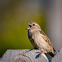 A female house sparrow shows off her tongue while yawning in the late afternoon sunlight outside my home in Bozeman, Montana.