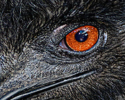 The emu (Dromaius novaehollandiae) is the second-tallest living bird in the world exceeded only by the ostrich. Emus are endemic to Australia where it is the largest native bird and is found throughout most of mainland Australia.  <br /> <br /> Emus are soft-feathered, brown, flightless birds with long necks and legs, and can reach up to 1.9 meters (6.2 ft) in height. Emus range in length from 139 to 164 cm (55 to 65 in).  They are the fifth heaviest living bird in the world after the two species of ostrich and two larger species of cassowary.  Adult emus weigh between 18 and 60 kg (40 and 132 lb), with an average of 31.5 and 37 kg (69 and 82 lb) in males and females, respectively.<br /> <br /> Emus can travel great distances, and when necessary they can sprint at 50 km/h (31 mph) due to their highly specialized pelvic limb musculature.  They flap their wings when running, perhaps as a means of stabilizing themselves when moving fast.  When walking, the emu takes strides of about 100 cm (3.3 ft), but at full gallop, a stride can be as long as 275 cm (9 ft). Emus have good eyesight and hearing.<br /> <br /> Emus primarily eat plants and insects but can go for weeks without eating. They drink infrequently but ingest large amounts of water when they do.  Emus breed in May and June.  The male incubates the eggs and hardly eats or drinks during that time, losing a significant amount of weight. The eggs hatch after about eight weeks, and the young are nurtured by their fathers. Emus reach full size after about six months.  The emu plumage varies in color due to environmental factors.  Feathers of emus in more arid areas with red soils have a rufous tint while birds residing in damp conditions are generally darker in hue. The juvenile plumage develops at about three months with the head and neck being especially dark. The adult plumage has developed by about fifteen months.