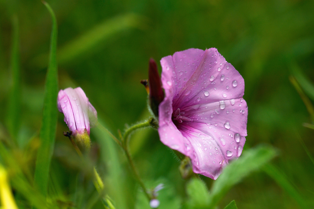 Mallow-leaved bindweed (Convolvulus althaeoides) , Limassol, Cyprus