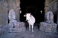 Inde. Rajasthan. Bijolia. Temple hindou du 12 é et 13 é siécle. Vache sacré. // India. Rajasthan. Bijolia. Hindou temple from 12th and 13th century. Sacred cow.