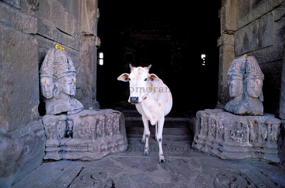 Inde. Rajasthan. Bijolia. Temple hindou du 12 é et 13 é siécle. Vache sacré. // India. Rajasthan. Bijolia. Hindou temple from 12th and 13th century. Sacred cow.