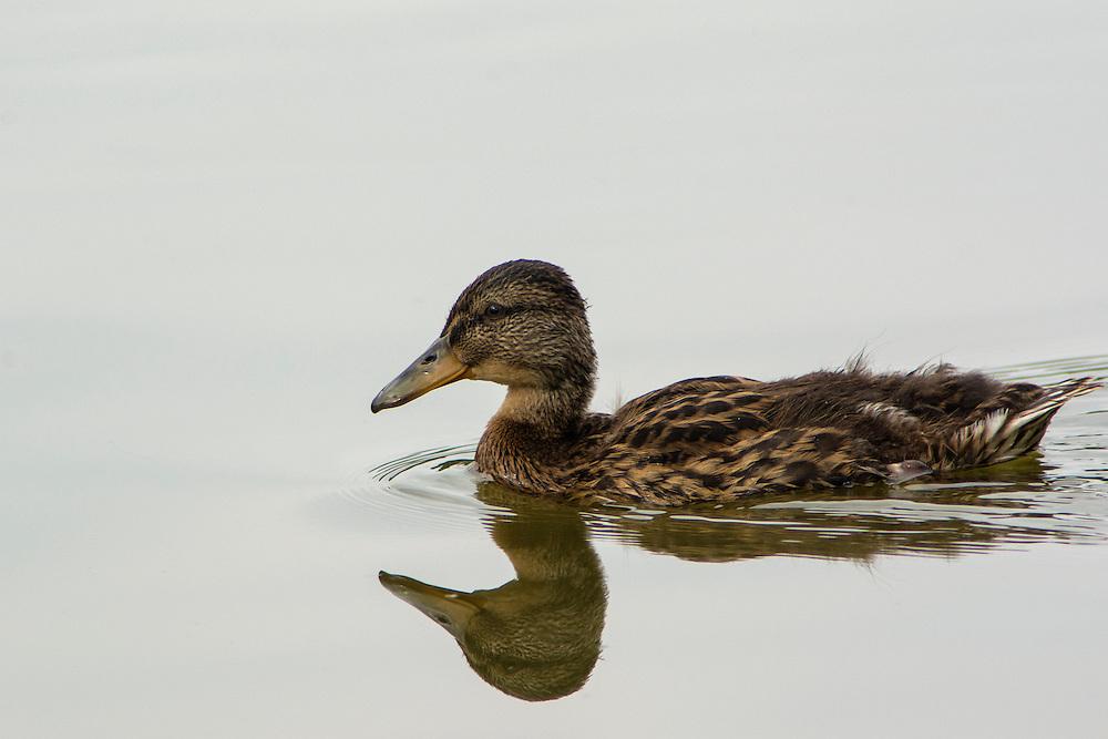 Young Mallard Duck.