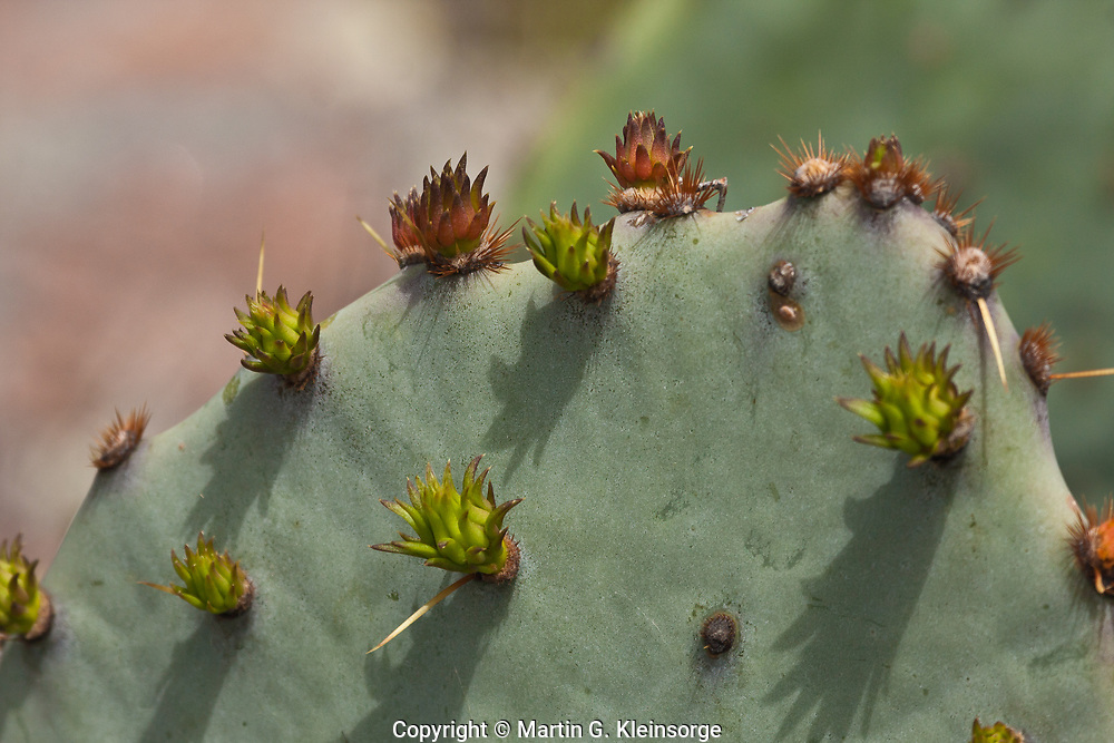 Texas Prickly Pear  (Opuntia lindheimeri) often grows to 5 feet tall, or may grow out horzontally. The spines are yellow which distinguishes it from other prickly pears species.  Texas Hill Country.