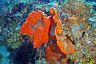 Elephant Ear Sponge, Agelas clathrodes, Orange Canyon Grand Cayman