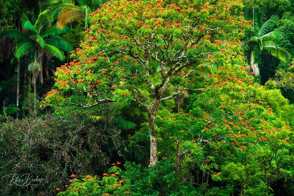 African Tulip tree and lush vegetation on the Hamakua Coast, The Big Island, Hawaii USA