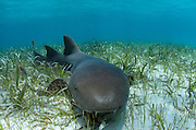 Nurse Shark (Ginglymostoma cirratum)<br /> Shark Ray Alley<br /> Hol Chan Marine Reserve<br /> near Ambergris Caye and Caye Caulker<br /> Belize<br /> Central America