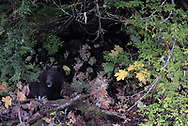 A subadult brown bear sits in the forest. It has recently been eating a fish that it caught along the water's edge in Haines, Alaska