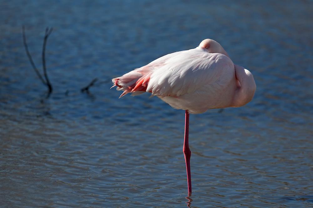 Flamingo on one leg sleeping