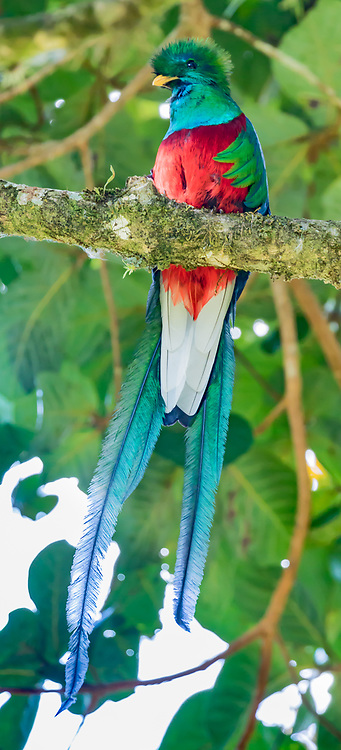 Male resplandant quetzal showing bright colors and very long tail feathers, Curi-Cancha Wildlife Reserve, Costa Rica, © David A. Ponton
