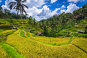 Rice fields at Tegallalang Rice Terrace, Bali, Indonesia