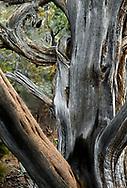 Cedar tree, Mesa Verde, Colorado