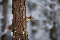 Red squirrel (Sciurus vulgaris) in winter forest, Cairngorms National Park, Scotland.