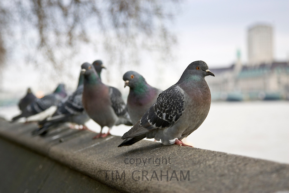 Pigeons, Southbank of River Thames, London, UK. Feral birds may be at risk from Avian Flu bird flu virus
