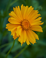 Lance-leaf Coreopsis. Image taken with a Leica TL-2 camera and 55-135 mm lens