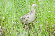 Pheasant, Phasianus colchicus, Female, Elmley Marshes, Kent, UK, hiding in long grass