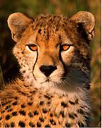 Young cheetah, about 12 mos old, Serengeti National Park, Tanzania.