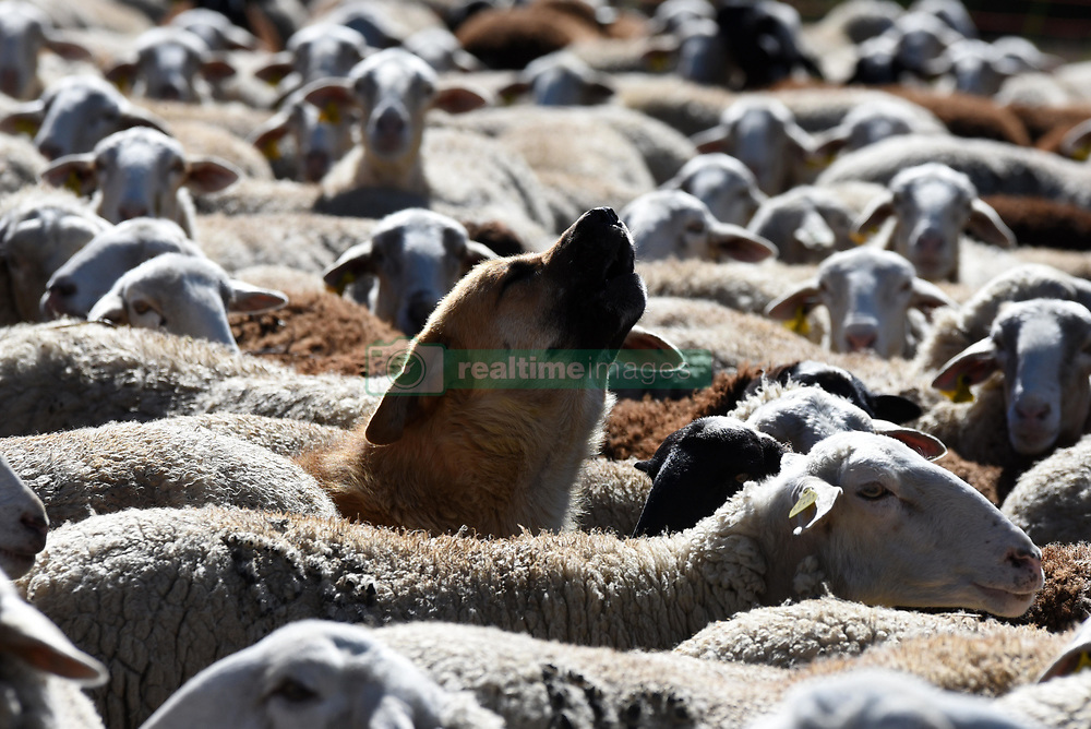 May 6, 2017 - Sarnago, Soria, Spain - Flock of sheep in the province of Soria, north of Spain, have declined between a 60-80% in the last two decades due to advanced age of the shepherds and ranchers, and the high production costs. (Credit Image: © Jorge Sanz/Pacific Press via ZUMA Wire)