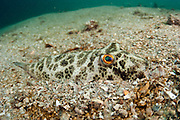 A Checkered Puffer, Sphoeroides testudineus, hides in the sandy bottom of the Lake Worth Lagoon in Singer Island, Florida, United States.