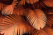 Pinanga Maculata, tiger palm, Hawaii