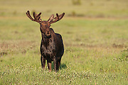 Shira's  bull moose with antlers in velvet in Wyoming