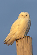 Snowy owl perched on fence post at sunset