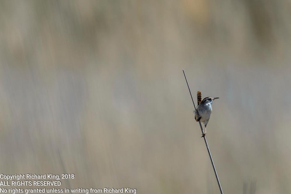 Birding photography from Bear River Bird Migratory Sanctuary, The Great Salt Lake, UT, USA