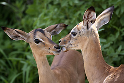 July 6, 2015 - Young Impalas, Kruger National Park, South Africa  (Credit Image: © Tuns/DPA/ZUMA Wire)