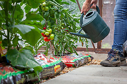 Watering tomatoes grown in growbags in a greenhouse