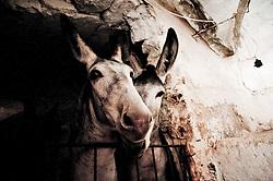 Vignacastrisi (frazione di Ortelle) Lecce.Una coppia di asinelli custoditi in una vecchia stalla