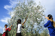Picking Olives close up. Photographed in Israel