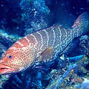 Tiger Grouper inhabit reefs in Tropical West Atlantic; picture taken Grand Cayman.