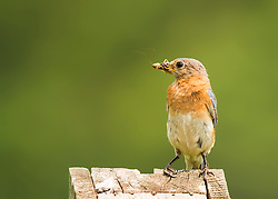 A bluebird with a cricket in his beak, ready to go down the hatch
