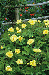 Paeonia mlokosewitschii - Caucasian peony. Known as Molly the Witch