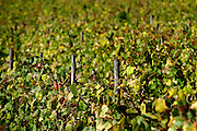 wineyeard of Vinho Verde, the Vinho Verde (Young wine from portuguese) it is a tipical wine from the north of Portugal.