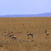 Cheetah, (Acinonyx jubatus) Thomson's Gazelles watch family of Cheetah. Masai Mara Game Reserve. Africa.