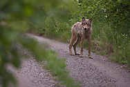 A wolf on the Valley Road in Katmai National Park, Alaska