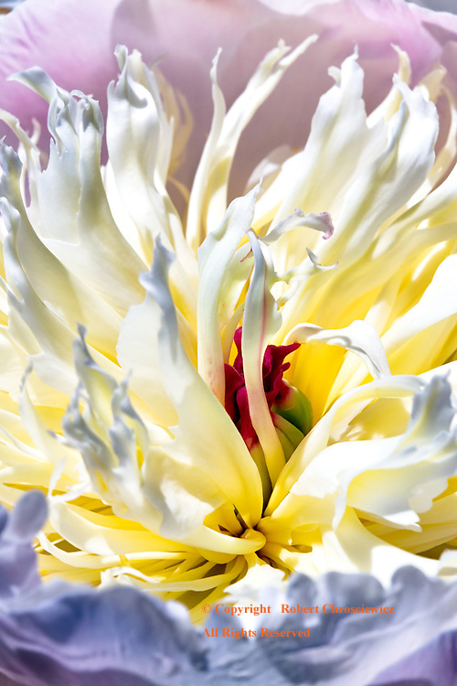 Peony in Bloom: The sensuous detail held within a white and yellow Peony in full bloom, Chilliwack British Columbia, Canada.
