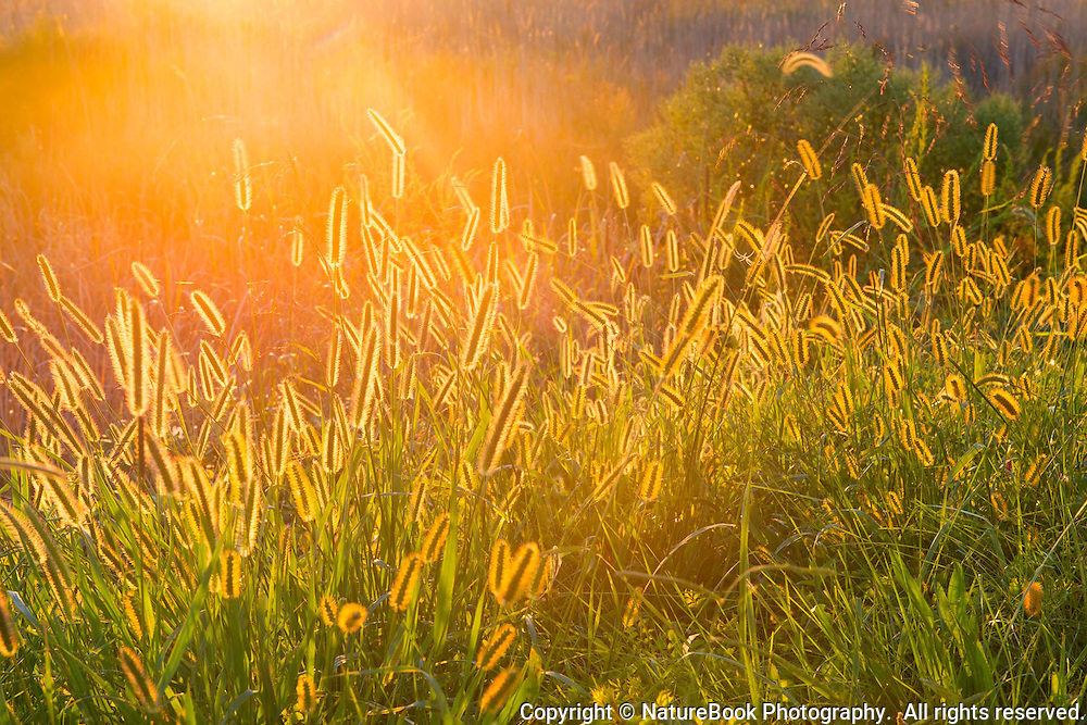 Cat tails glimmer in the sunset at Chesapeake Bay.