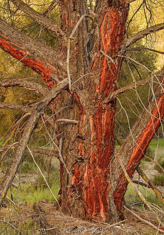 Gray Pine, Pinnacles National Park, California