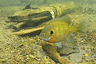 Bluegill (male guarding nest of eggs)<br /> <br /> Engbretson Underwater Photography