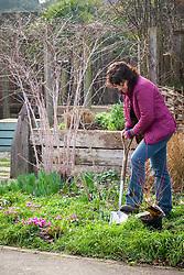 Planting a pot grown shrub (Cornus sanguinea 'Midwinter Fire') in a border.